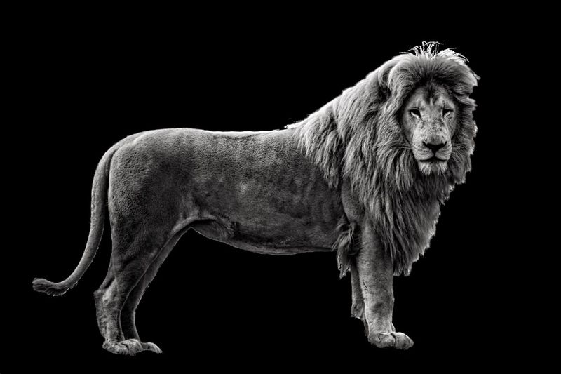 King of the plains. Wild Wildlife Predator Mane Feline Panthera Leo Black And White Collection  Blackandwhite Lion Studio Shot No People