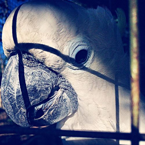 Connected With Nature Caged Cockatoo Cacatouidea