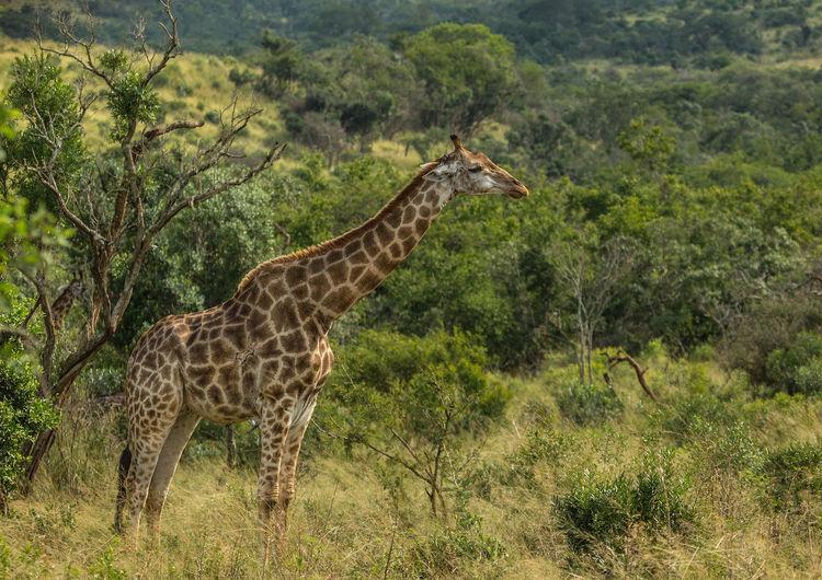 Giraffes Hluhluwe HluhluweImfolozi National Park KwaZulu-Natal Rainbow Nation South South Africa Wildlife Africa Curiosity Cute Daytime Giraffe Grassland HEAD Imfolozi Large Looking Mammal Neck Nobody Outdoors Park Side View Summer WoodLand Zoology
