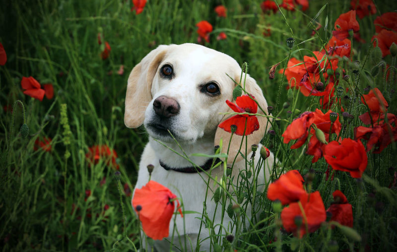 Animal Themes Beagle Beauty In Nature Blooming Close-up Day Dog Domestic Animals Field Flower Flower Head Fragility Grass Growth Lemon Beagle Nature No People One Animal Outdoors Petal Pets Plant Poppies  Poppies Field Red Pet Portraits