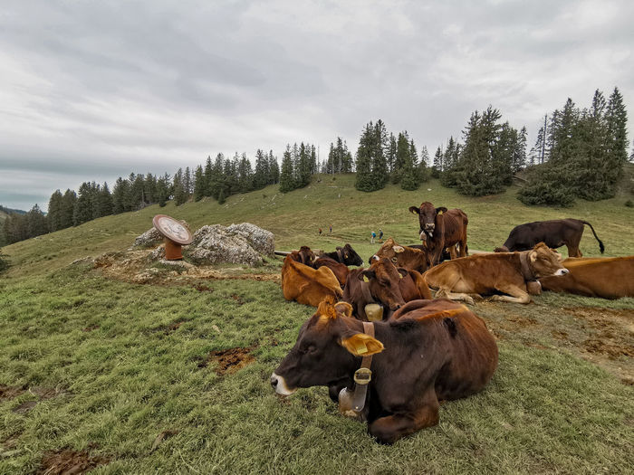 Cows in a field in the bavarian alps
