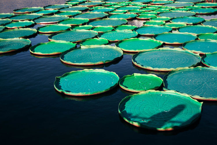 Water Floating Floating On Water Green Color Nature High Angle View No People Lake Day Large Group Of Objects Outdoors Abundance Beauty In Nature Water Lily Waterfront Leaf Arrangement Geometric Shape