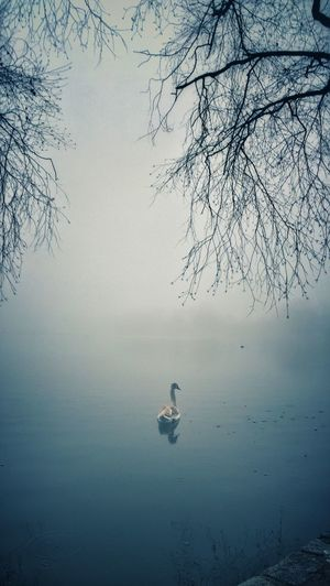 Atmosphere Birds Cananda Geese Distant Fog Lake Landscape Majestic Nature Nature Non-urban Scene Outdoors Prospect Park Reflection Relaxing Remote Scenics Solitude Soothing Swans Tranquil Scene Tranquility Trees Water