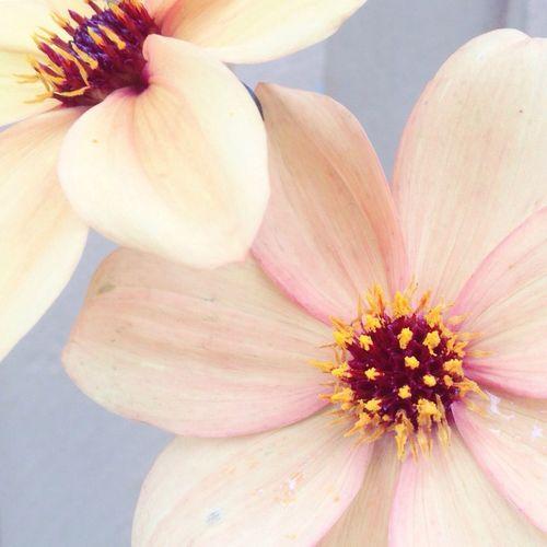 Flower Flowers Dalia Georgine Blomster Pastell Pastel Pastel Colors Softness Soft