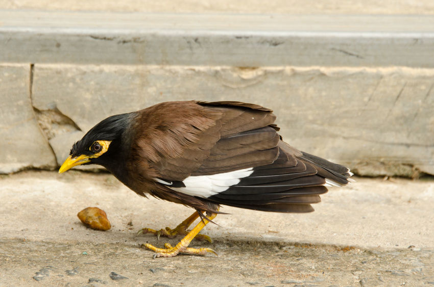 Common Mynah Alertness Animal Themes Animals In The Wild ASIA Beak Bird Common Common Mynah Curiosity Day Koh Chang Mynah Nature No People One Animal Outdoors Relaxing Side View Thailand Wildlife Zoology