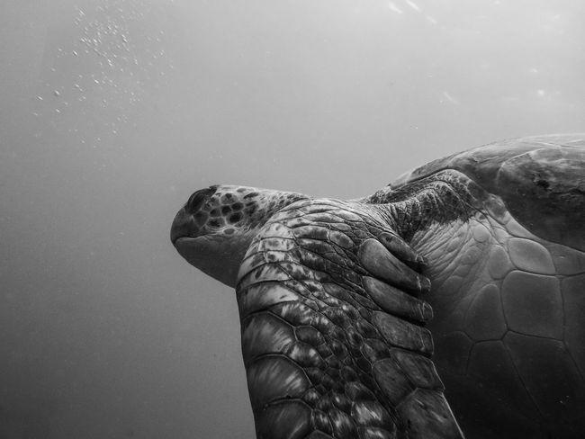 Beauty In Nature BSAC Monochrome SCUBA Turtle Underwater Photography Underwater Wildlife Underwater World