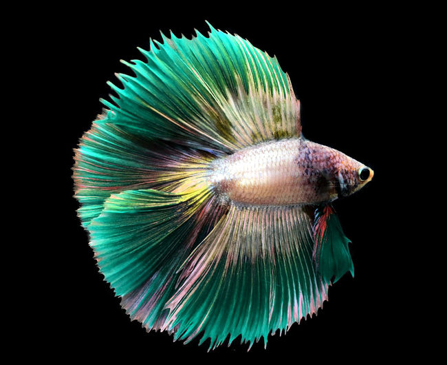 Green Siamese fighting fish isolated on blue background. Fish Aquarium Nature Siamese Animal Beautiful Betta  Aquatic Tail Motion Tropical Pet Colorful Aggressive Beauty Background Color Luxury Black Water Domestic Yellow Splendens Dragon Exotic Dress Fancy Fighting Swimming FIN Power Moon Fight Half Action Abstract Thailand Scale  Closeup Moving Thai Biology Movement Metallic Face Art Yellow Pla-kad Gold Green