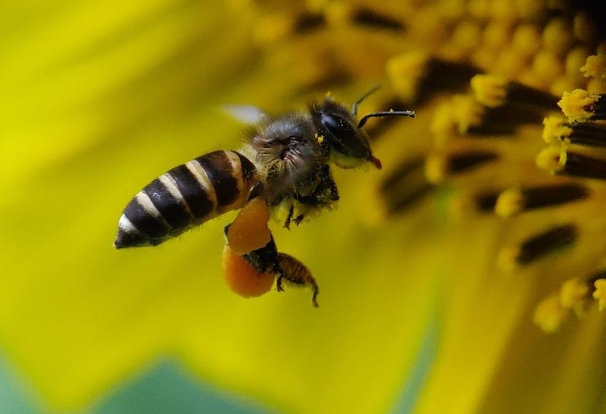 Honey bee 🐝 Sunflowers🌻 Sunflower Nature_collection Naturelovers Nature_lovers Nature_landscape Fauna_collection Insects  Bee 🐝 Buzzing Bee Flower Pollination Flying Insect Close-up Honey Bee Blooming Flower Head Petal Stamen Single Flower