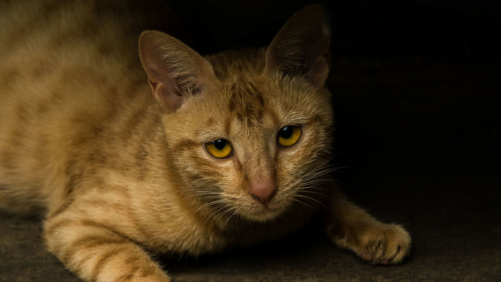 Sad looking yellow cat Sad Eyes Animal Themes Cat Lovers Close-up Cute Animal Domestic Animals Domestic Cat Feline Female Indoors  Looking At Camera Mammal No People One Animal Pets Portrait Pretty Animal Whisker Yellow Cat Visual Creativity Visual Creativity The Creative - 2018 EyeEm Awards