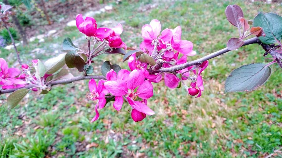 Flower Head Close-up Beauty In Nature Outdoors Pink Color Plant Apple Tree Apple Blossom Apple Trees Garden