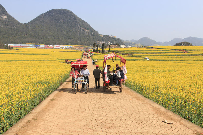 Luoping, China - February 28, 2016: Man riding a waterbuffalo for the tourists among the rapeseed flowers fields of Luoping in Yunnan China . Agriculture ASIA Bees China Field Full Length Grass Honey HoneyBee Land Vehicle Landscape Leisure Activity Lifestyles Luoping Minority Mountain Rapeseed Rapeseed Blossom Rapeseed Field Rural Scene Sky Tradition Yellow Yunnan Yunnan ,China