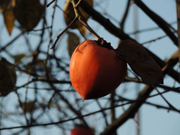 Fruit Food And Drink Food Tree Red Hanging Winter No People Healthy Eating Dried Fruit Day Close-up Branch Outdoors Growth Freshness Nature Persimmon