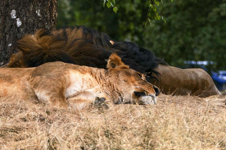 Sleeping Lion -