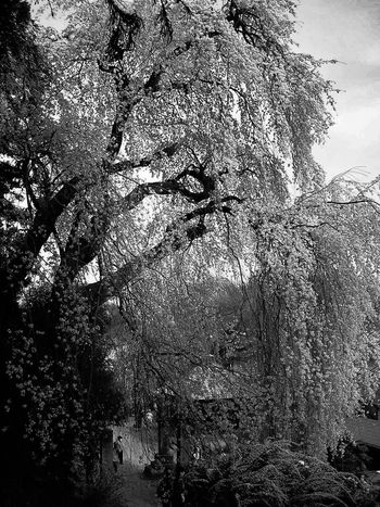 Sakura@Tokyo Cherry Blossoms Sakura Tree Silhouette Florwer Landscapes Landscape Nature Photography Nature EyeEm Gallery EyeEm Best Shots Traveling Travel Travel Photography Trip Trip Photo Nature_collection Shadows & Lights Light And Shadow Black & White Black&white Blackandwhite Photography Black And White B&w Shadows
