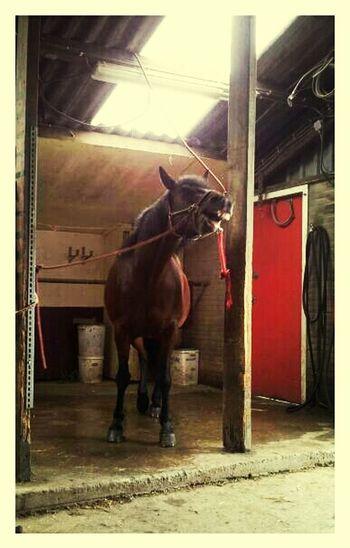 Smile Horse Haflo