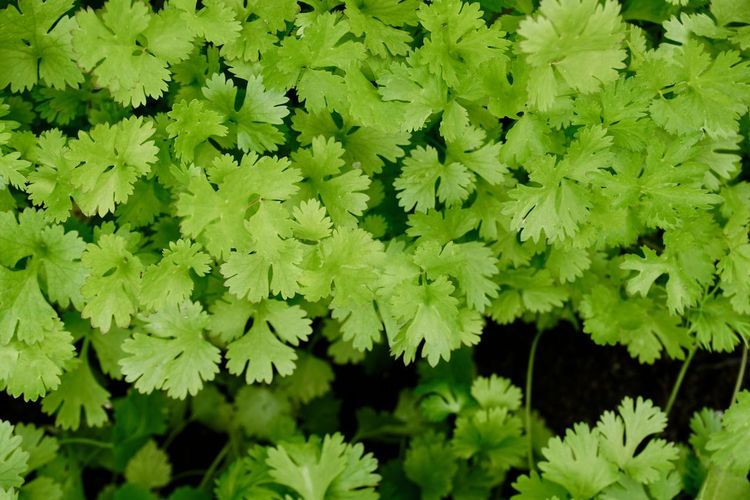 Parsley in a garden