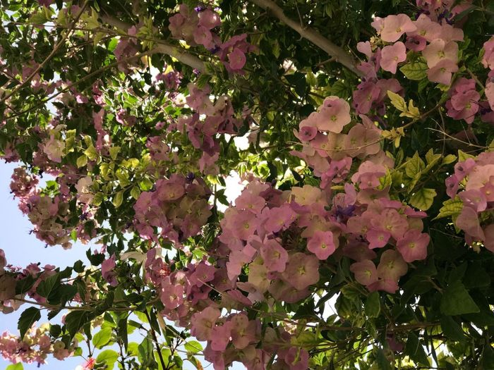 Plant Growth Tree Low Angle View Beauty In Nature Branch No People Pink Color Green Color Flowering Plant Flower Nature