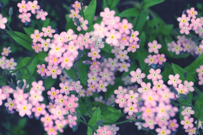 Forget me not… 花 勿忘草 ピンク 春