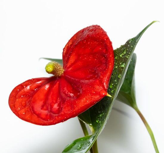 Close-up of wet red rose against white background