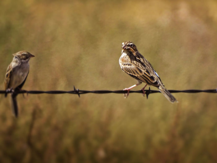 Animal Animal Themes Bird Animal Wildlife Vertebrate Animals In The Wild Perching Group Of Animals Focus On Foreground Two Animals No People Day Nature Outdoors Sparrow Close-up Selective Focus Fence Safety Barbed Wire