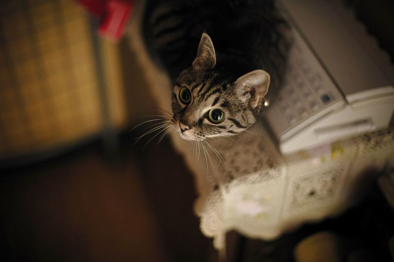 High Angle View Of Tabby Cat Looking Up While Sitting By Fax Machine On Table