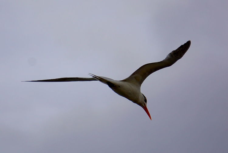 Animals In The Wild Bird Flying Grand Cayman Mid-air Royal Tern Sea Bird Spread Wings