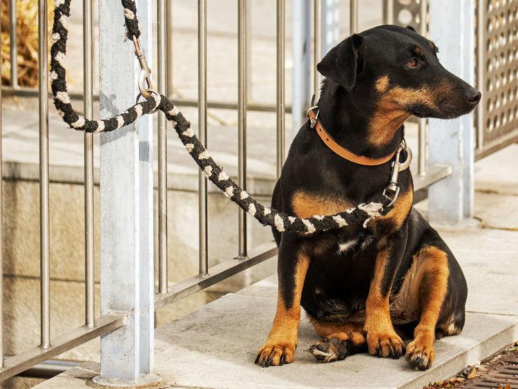 Waiting of .... Animal Themes Dachshund Dackel Dog Domestic Animals No People One Animal Pet Collar Pets Waiting