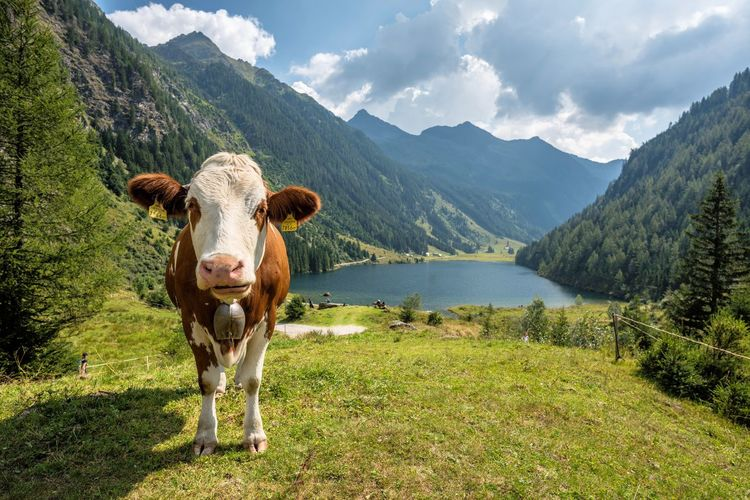 Riesachsee Animal Animal Themes Beauty In Nature Cattle Cloud - Sky Cow Day Domestic Domestic Animals Grass Herbivorous Livestock Looking At Camera Mammal Mountain Mountain Range Nature No People One Animal Outdoors Pets Plant Portrait Sky