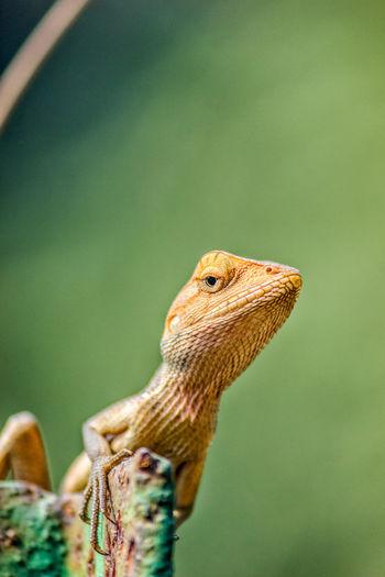 Beautiful garden lizard....