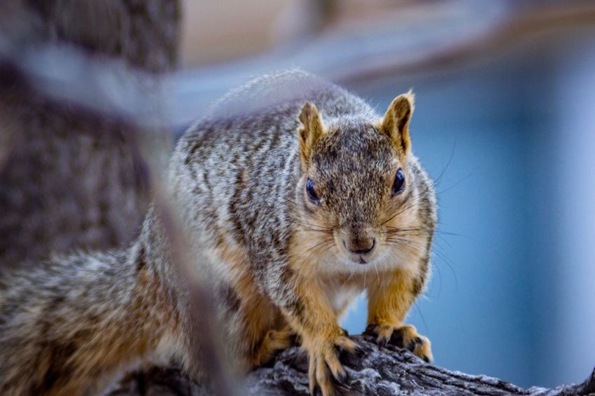 Animal Portrait Squirrel In A Tree Foreground Blur Background Blur Squirrel Life EyeEm Selects Animal Animal Themes Rodent One Animal Mammal Animal Wildlife Animals In The Wild Squirrel Close-up Looking At Camera Nature Outdoors Whisker Looking Portrait
