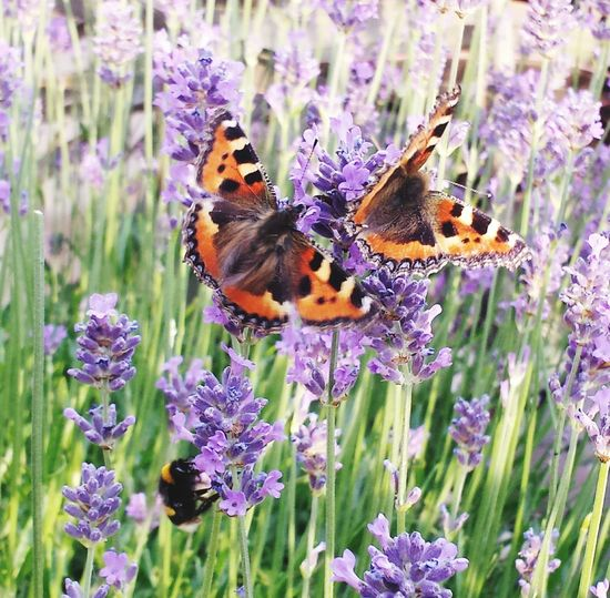 Tortoiseshell Butterfly Butterfly - Insect Butterflies Butterflies On Lavender Nature Collection Calm Tranquility Peaceful Moment Peace And Quiet