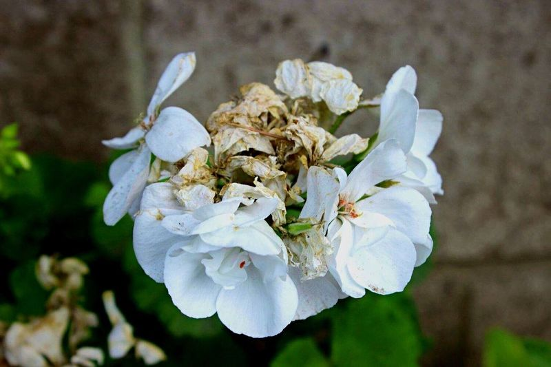 Decaying Flower Flower Petal Beauty In Nature Nature Fragility White Color Growth Flower Head Close-up Blooming No People Plant Outdoors Freshness Flowers,Plants & Garden