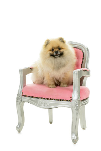 Cute cream and brown Pomeranian - Dwarf Spitz dog sitting in a pink baroque chair isolated on a white background Pomeranian Animal Animal Themes Armchair Baroque Chair Copy Space Cut Out Domestic Domestic Animals Full Length Indoors  Looking Mammal No People One Animal Pets Pomeranian Puppy Seat Sitting Spitz Dog Studio Shot Vertebrate White Background Young Animal