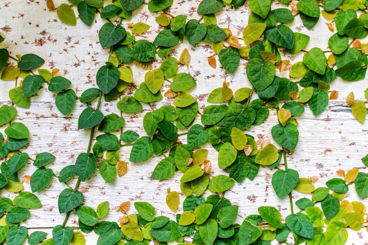 Close-up of ivy on table