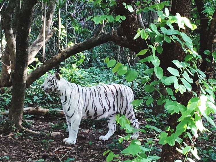 White Tiger One Of The Rarest Animal Animals In The Wild Animal Photography Animal In Nature Tiger Animal_collection Yashs