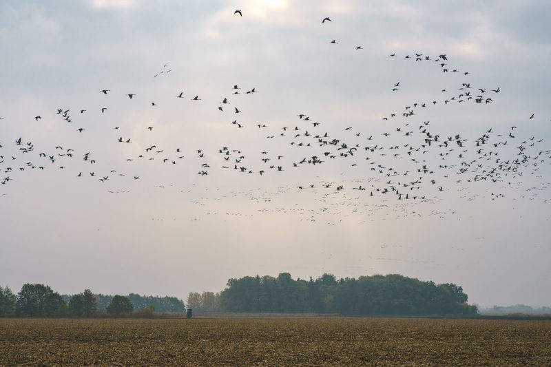 Flock Of Birds Flying Over Field Against Sky