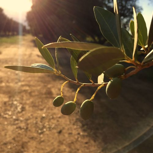 Puglia Olives Ulivi Italy Light And Shadow Eye Em Nature Lover EyeEmBestPics CreativePhotographer Sunset Silhouettes Travel