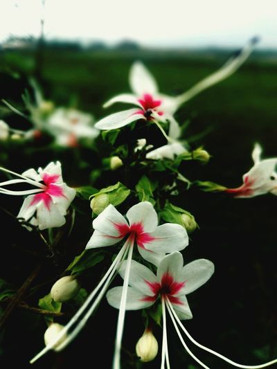 White Flower White Flower At Its Best Flower Flower Head Petal Beauty In Nature Growth Fragility Nature Pink Color Plant Springtime Outdoors Freshness Close-up No People Day Likes4likes Likeforlike EyeEm Team Beauty In Nature Nature