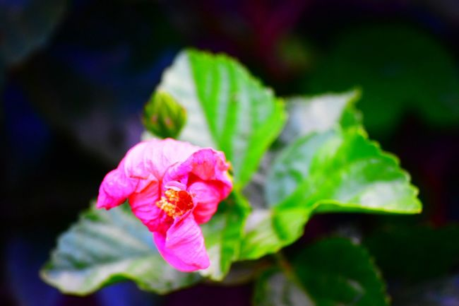 Beauty In Nature Close-up Day Flower Flower Head Flowering Plant Focus On Foreground Fragility Freshness Growth Inflorescence Leaf Nature No People Outdoors Petal Pink Color Plant Plant Part Selective Focus Springtime Vulnerability