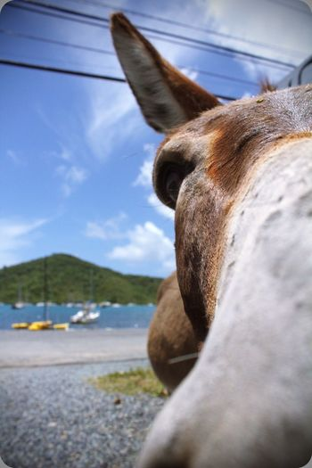 Donkey Outdoors Youngphotographer Natgeo Nature Life Love VirginIslands Usvi Animalphotography Domestic Animals Water Close-up Beauty In Nature Sky Sea Photography EyeEmNewHere