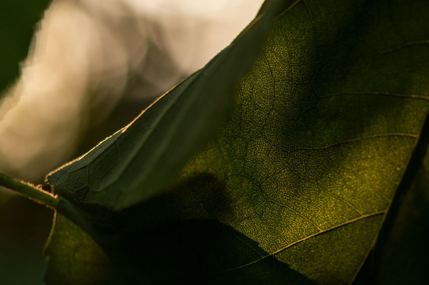 Sunflower leaf... No People Outdoors Rural Scene Landscape Nature Day Close-up Detail Summer Beauty In Nature Leaf Nature Leaves Sunset Macro Macro Beauty Leaf Vein Bokeh Freshness Fragility Botany Sunflower Leaf Plant Growth EyeEm Nature Lover