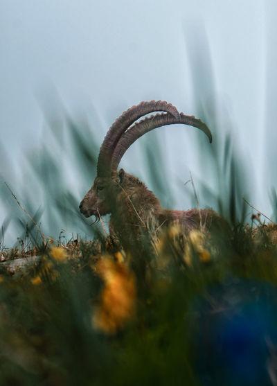 Alpine ibex seen through grass against clear sky