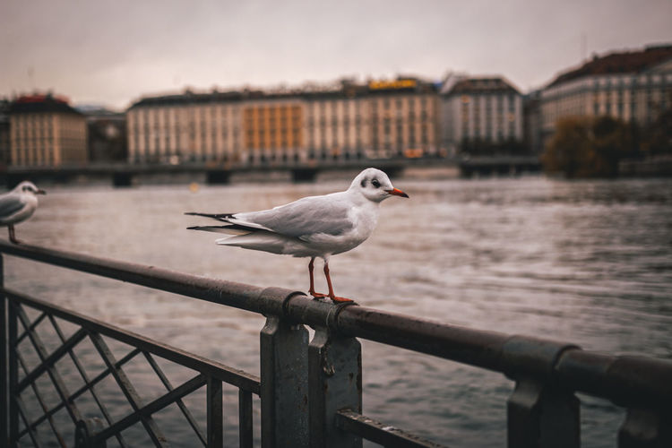 Seagull perching on railing against river