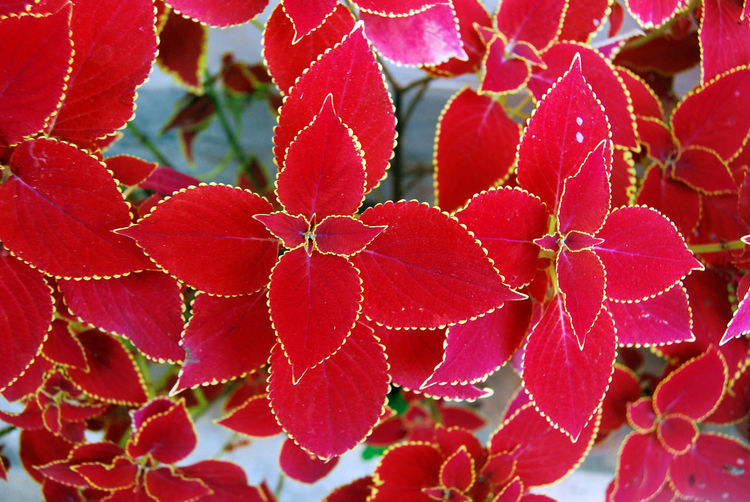 Beauty In Nature Close-up Coleus Digboi Freshness Growth Incredible India India Leaf Natural Pattern Nature Plant Red