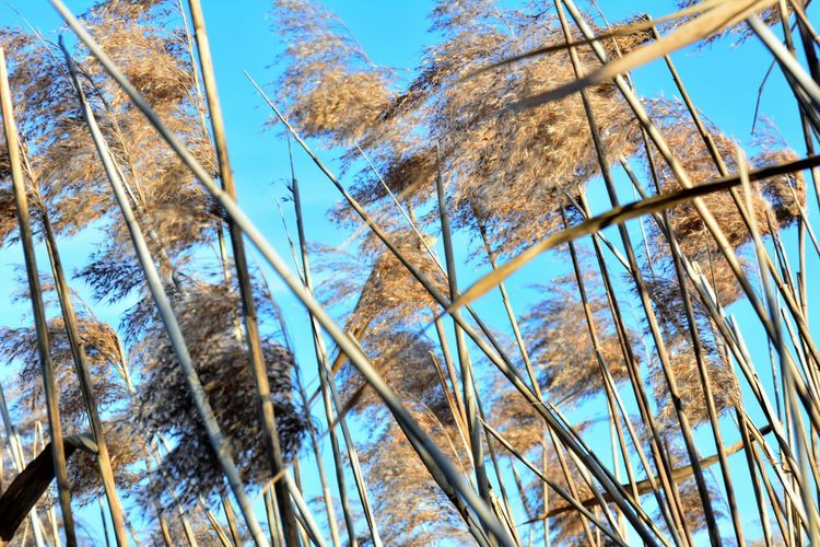 Rustle Among The Reeds Beauty In Nature Blue Clear Sky Day Growth Low Angle View Nature No People Outdoors Reeds Sky Sunny Day Surging Crowd Tree Windy