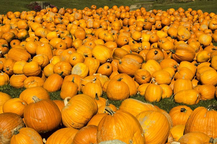 Pumpkin Patch Orange Orange Color October Day Halloween Pumpkin Autumn Autumn Colors Authentic Moments Autumn Collection Canonphotography Canon Americana Pennsylvania Nature Nature's Diversities