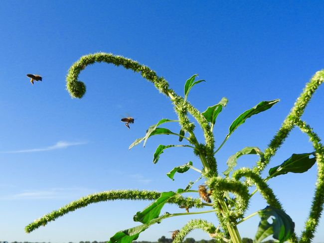 Bee-line to the pollen Bees Plant Sky Growth Blue Low Angle View Green Color Nature No People Day Clear Sky Beauty In Nature Outdoors Animal Wildlife Flying