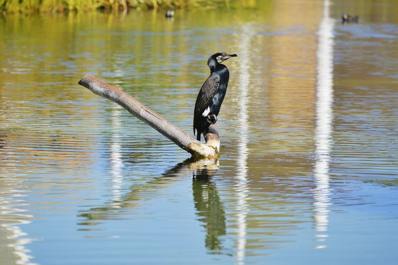 Reflection Bird Nature Photography Beauty In Nature Nature_collection Week On Eyeem Nature Bird Water Bird Of Prey Lake Reflection Full Length Animal Themes Animals Hunting Cormorant  My Best Photo