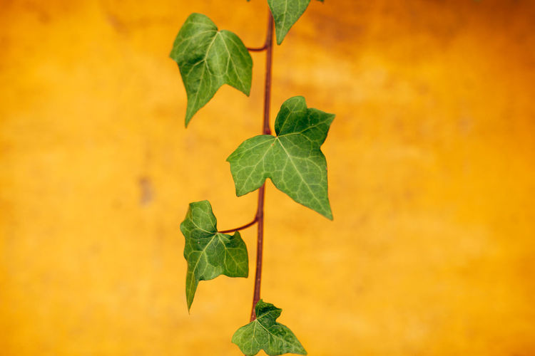 Araliaceae Hederahelix Nature Wall Beauty In Nature Day Fragility Freshness Green Color Growth Hedera Hedera Helix Hedera On Wall Leaf Lines And Shapes Nature Nature_collection Outdoors Plant Walls Yellow Yellow Wall