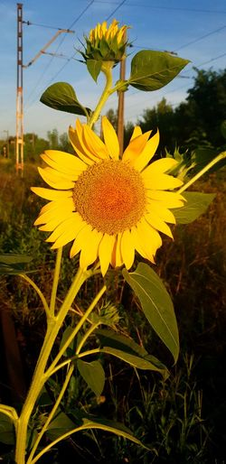 Flower Head Flower Yellow Sunflower Rural Scene Petal Herbal Medicine Agriculture Leaf Sky
